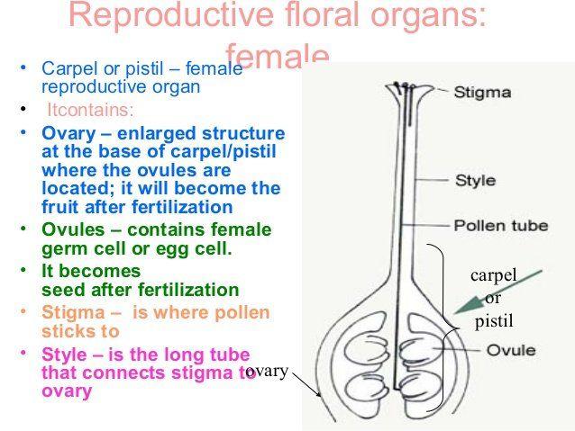 Female sex organ of a flower