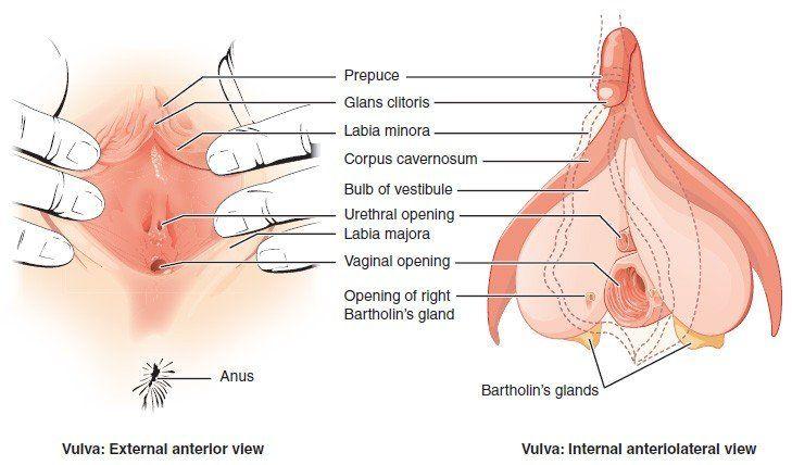 Clitoris woman reproductive matchless