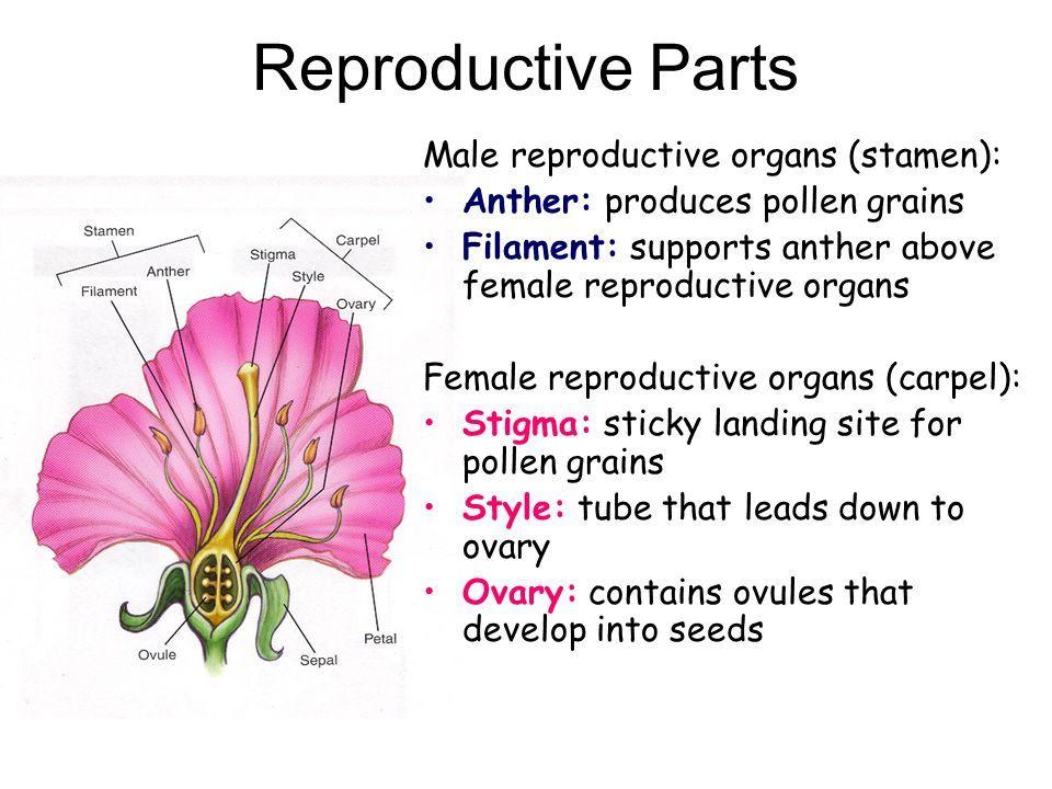 best of Organ Female flower a sex of