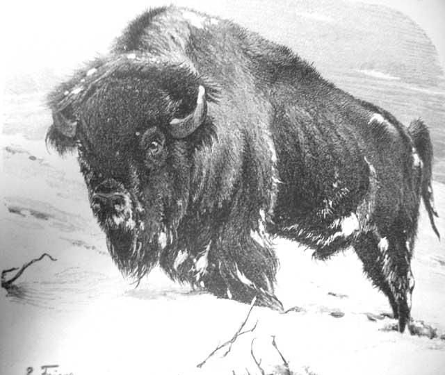 Female sex ratio for bison priscus