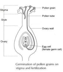 Cirrus reccomend Female sex organ of a flower