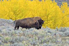 best of Bison Female sex ratio priscus for