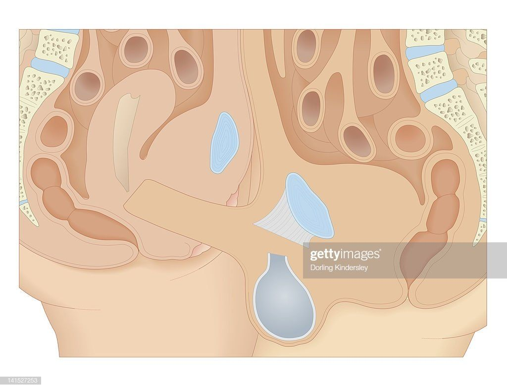 Internal picture of penis inside vagina